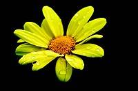 A yellow daisy wet from the morning dew
