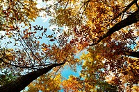 Looking up at a golden autumn oak trees