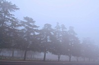 Evergreen trees in a thick fog