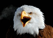 Close_up picture of a Screaming American Bald Eagle