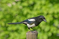 Magpie (Pica pica), keeping lookout on a pole in a meadow, Untergroeningen, Baden-Wuerttemberg, Germany, Europe