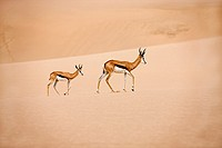 Springbok, antidorcas marsupialis, Adults walking on Sand, Namib Desert in Namibia