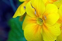 Erstlingsblume, Primel