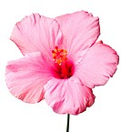 Pink hibiscus isolated on white background. Clean pure white background_ no grey!