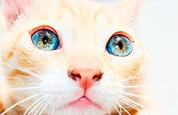 Detail of ginger kitten face with bright blue eyes high_key image