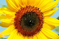A close up of a Sunflower against a blue sky