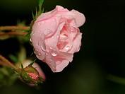 Rose Frau Eva Schubert