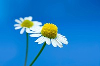 Pair of chamomile flower on blue surface
