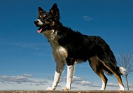 portrait of a purebred border collie tricolor