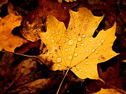 Close_up picture of a beautiful autumn leaf with water droplets