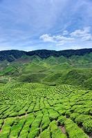 Tea plantations found in Cameron Highlands, Malaysia