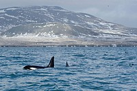 Killer whale (Orcinus orca) off the west coast, Grundarfjoerður, Snæfellsnes, Iceland, Europe