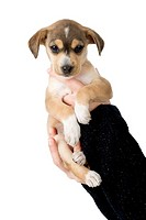 Female hands holding a beautiful and cute puppy