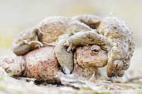 Toads Bufo bufo, males competing for a female