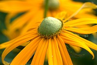 close up of rudbeckia , big daisy flowers in yellow