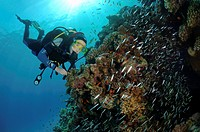 Diver and Glassfish (Parapriacanthus guentheri), Red Sea, Egypt, Africa