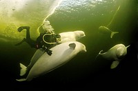 Diver and Belugas, White whales (Delphinapterus leucas), ice-diving in White Sea, Karelia, north Russia, Arctic