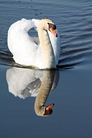 A Swan, floating over water with a perfect reflection
