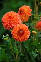 Balldahlie Orange