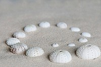 decorative white sea urchin shell