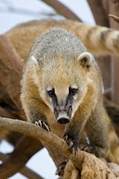 Coati Portrait Shot In Athens Zoo Park