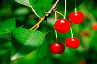 Branch of about 5 Appetizing Bright Red Cherries