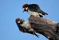 Pair of Acorn Woodpeckers Melanerpes formicivorus on a tree with a blue sky background
