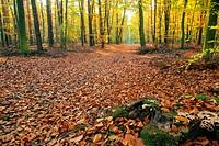 Buchenwald mit Weg _ beech forest with trail 03
