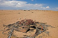 Welwitschia, welwitschia mirabilis, Living Fossil Plant, Namib Desert in Namibia