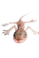 gecko babe isolated on white background