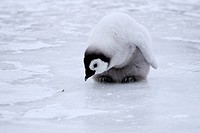 Emperor penguin chick Aptenodytes forsteri on the ice in the Weddell Sea, Antarctica