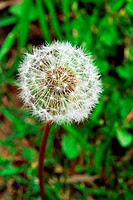 an isolated shot of Dandelion Flower Seed Head