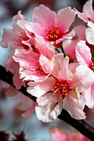 An isolated shot of Blooming Pink Cherry Flowers