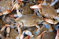 Washington DC, USA, blue crabs from the Chesapeake at the Maine Avenue Fish Market.