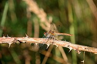 Ruddy Darter Sympetrum sanguineum _ female on a branch