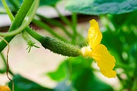 one green small cucumbers with flower growing on a vine in greenhouse