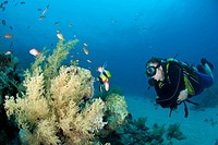 Male scuba diver observing marine life. Ras Ghozlani, Sharm el Sheikh, Red Sea, Egypt.