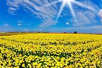 Solar spring day in fields flowers buttercups