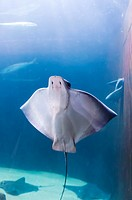 Manta ray, Aquarium of the Bay, Fisherman's Wharf, San Francisco, California USA