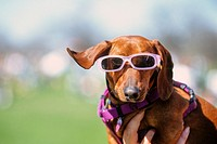 Dog wearing pink sunglasses, Austin, Texas
