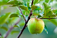 Closeup of a green apple on a branch in an orchard