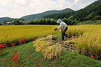 Farmer reaping the corners of a field with a sickle, before using a small combine harvester in Iwakura Kyoto, Japan, Asia