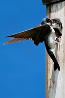 Tree Swallow tachycineta bicolor feeding hungry babies