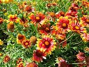 Gaillardia aristata, Kokardenblume, Lanceleaf
