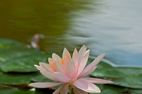 Beautiful flowers of the lotus plant in bloom.