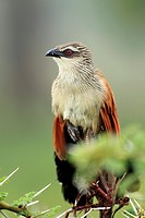White-browed Coucal Centropus superciliosus