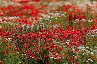 Red poppies Papaver rhoeas and marguerites Leucanthemum vulgare, Limburg, Hesse, Gemany, Europe