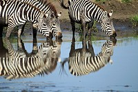 Group of Grévy's zebra drinking in the water. Equus zebra
