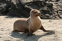 Galapagos sea lion Zalophus californianus wollebacki, Punta Espinoza, Fernandina Island, Galapagos Islands, Ecuador