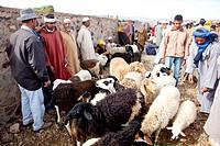 Men wearing Djellabas, traditional robes, and sheep on the animal market in Tinezouline, Draa valley, Morocco, Africa